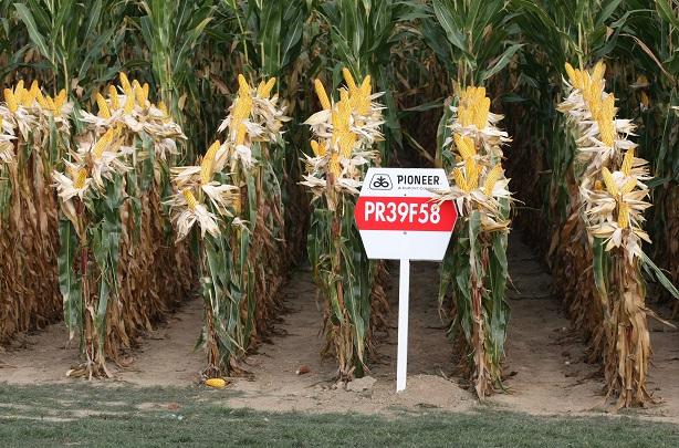 Pioneer_maize_PR39F58