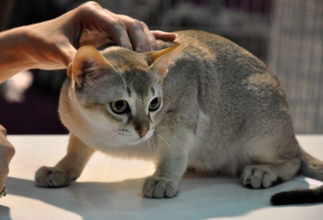 slike kaplje maca
