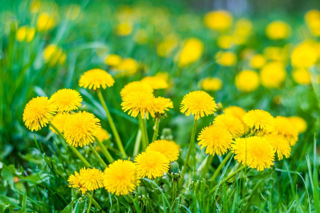 Maslačak je čarobna biljka: Evo kako će vam pomoći da očistite ...
